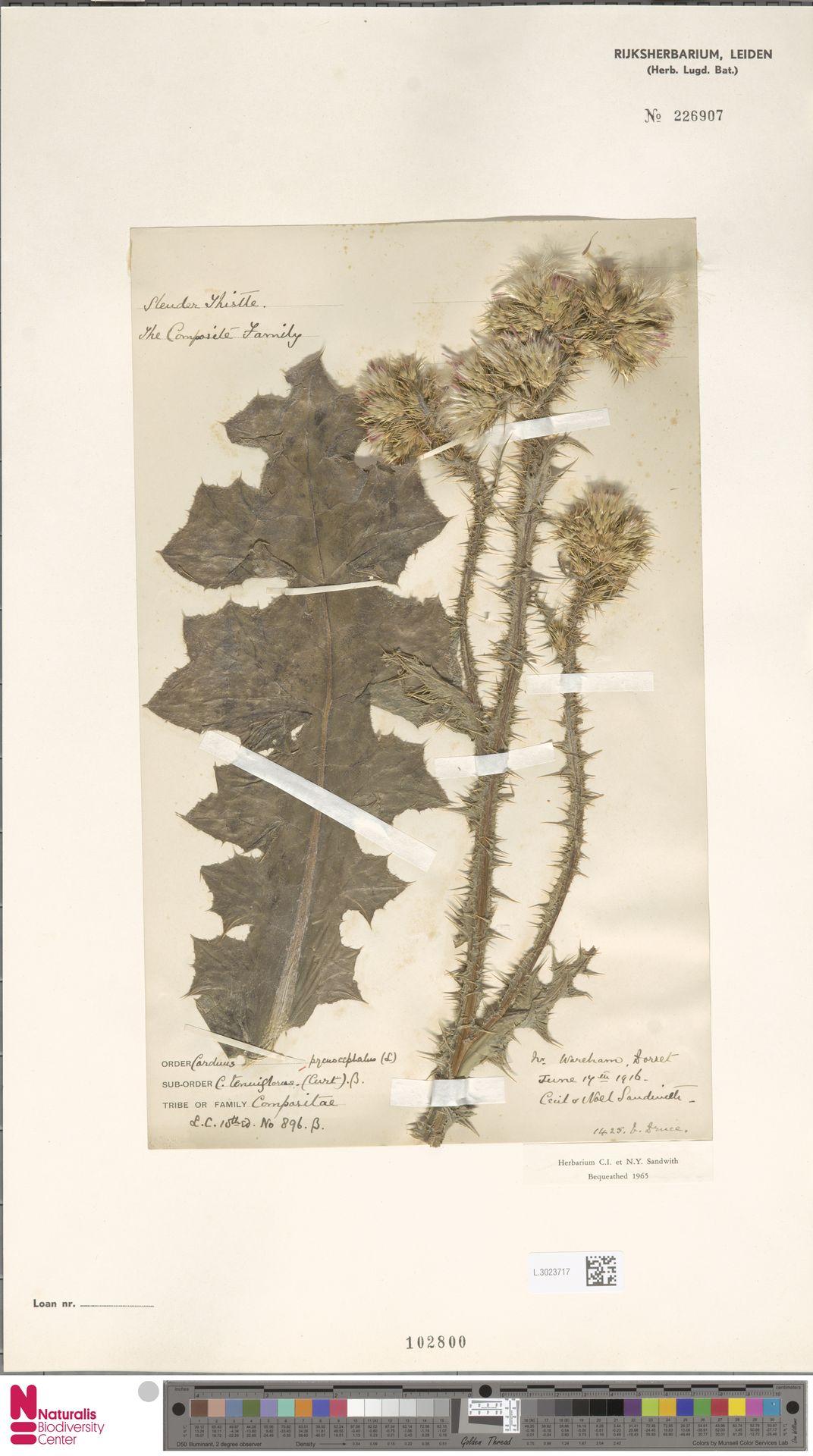 L.3023717 | Carduus pycnocephalus L.
