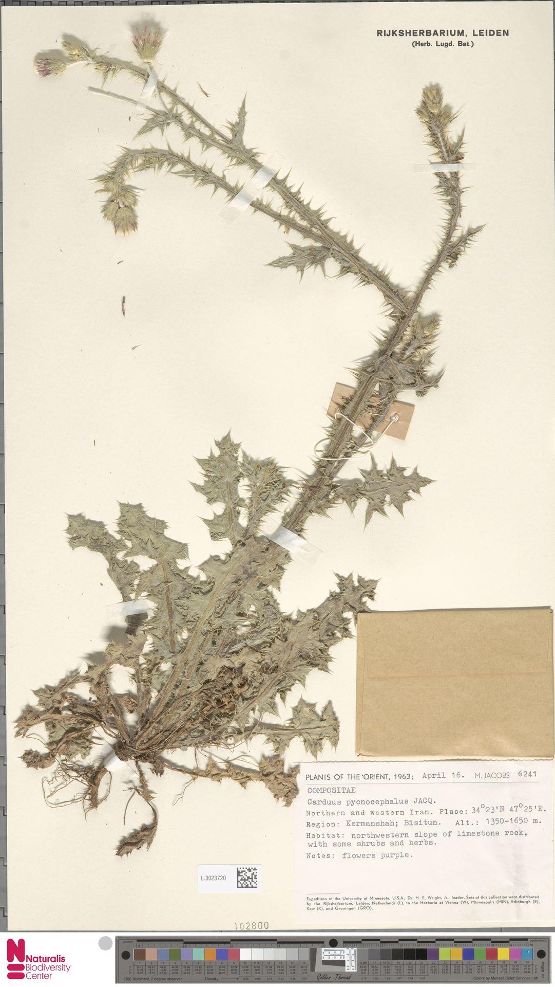 L.3023720 | Carduus pycnocephalus L.