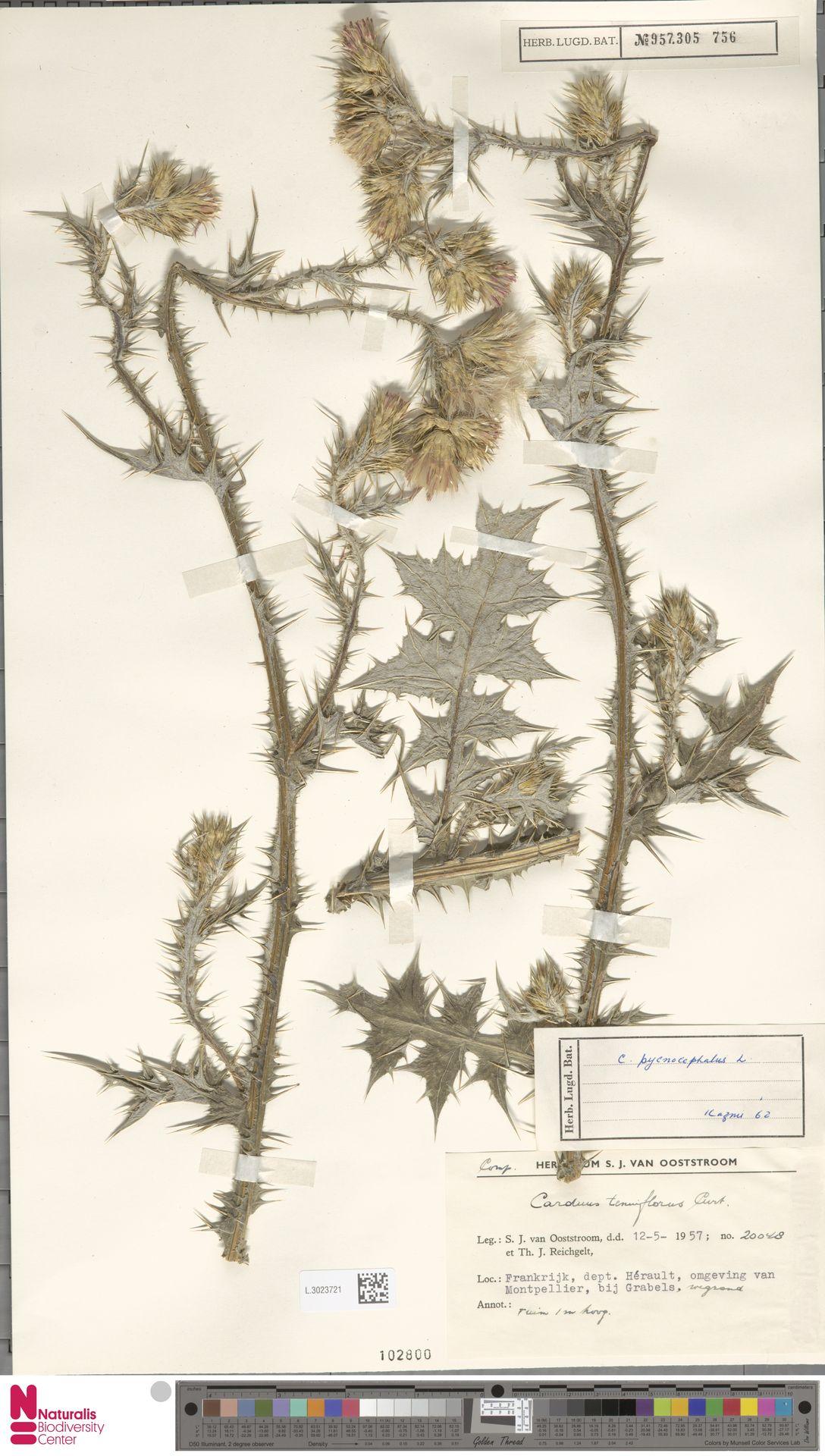 L.3023721 | Carduus pycnocephalus L.