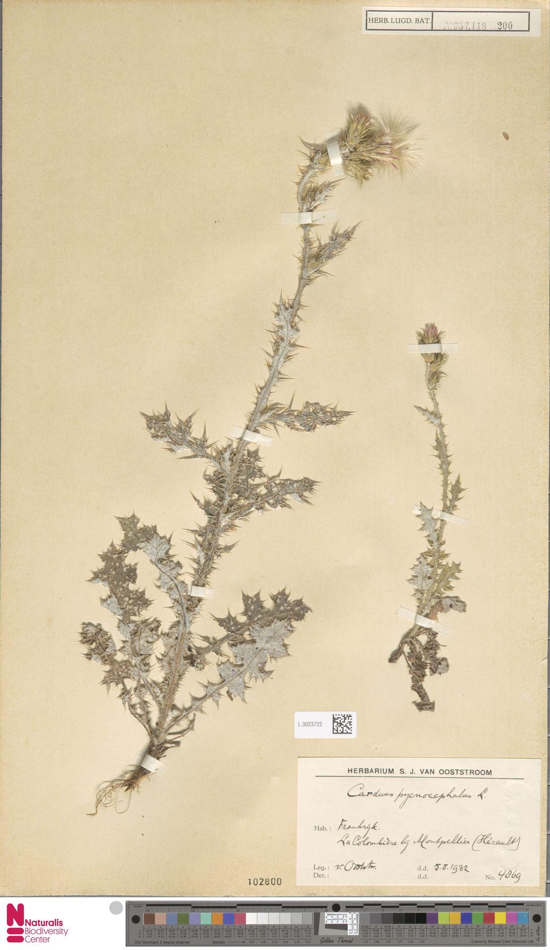 L.3023722 | Carduus pycnocephalus L.
