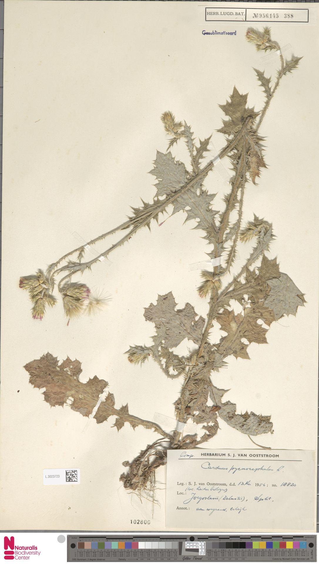 L.3023723 | Carduus pycnocephalus L.
