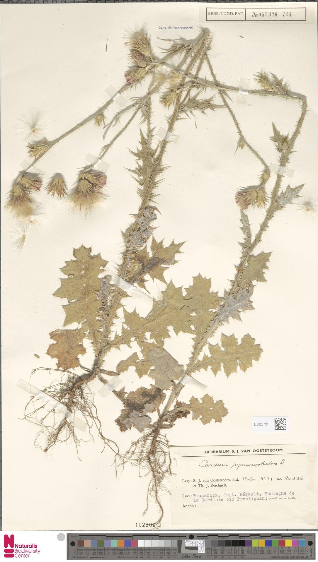 L.3023724 | Carduus pycnocephalus L.