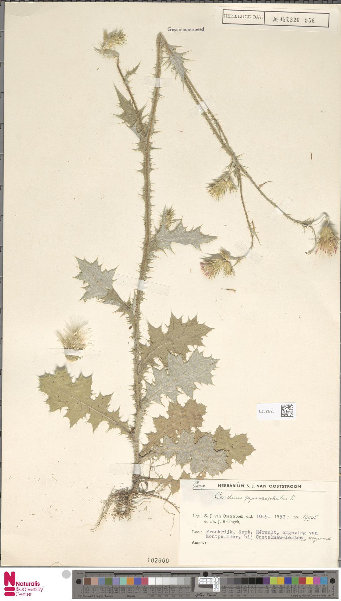 L.3023725 | Carduus pycnocephalus L.