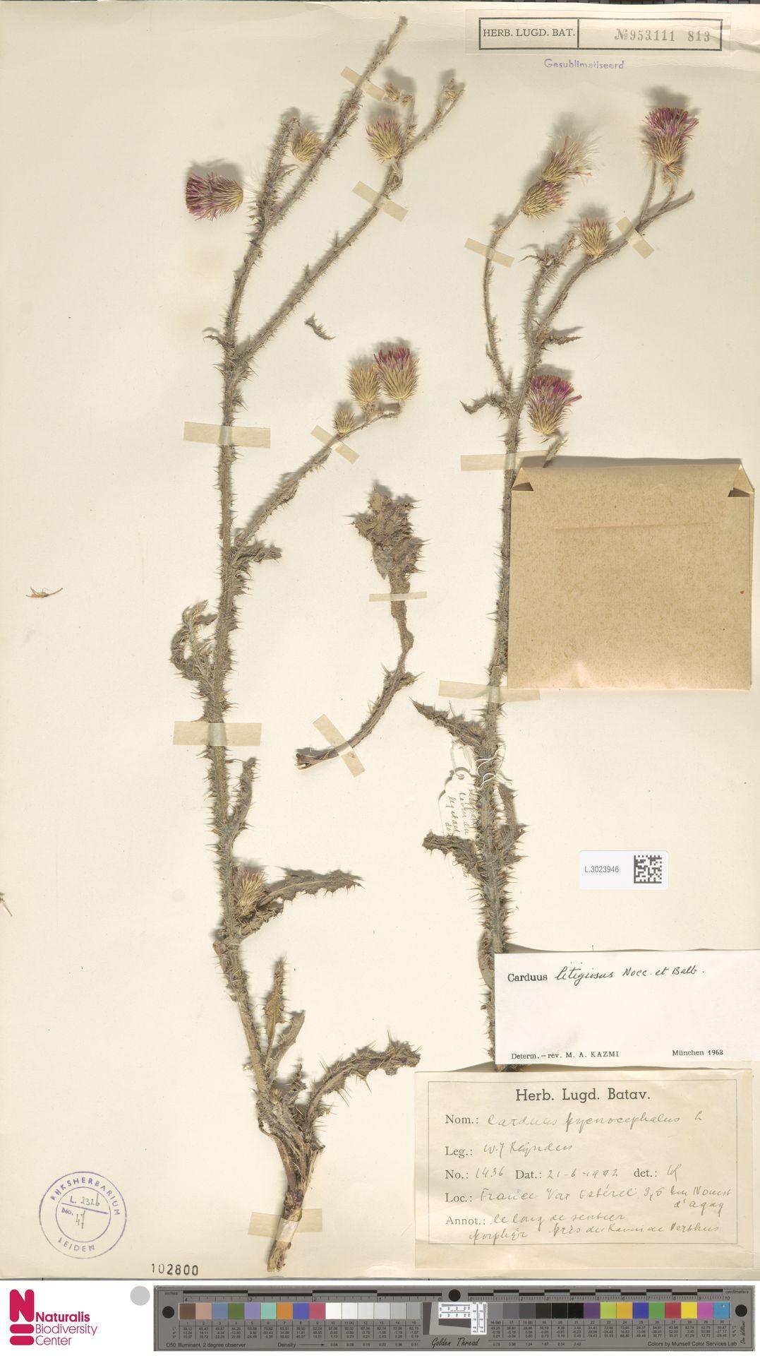 L.3023946 | Carduus pycnocephalus L.