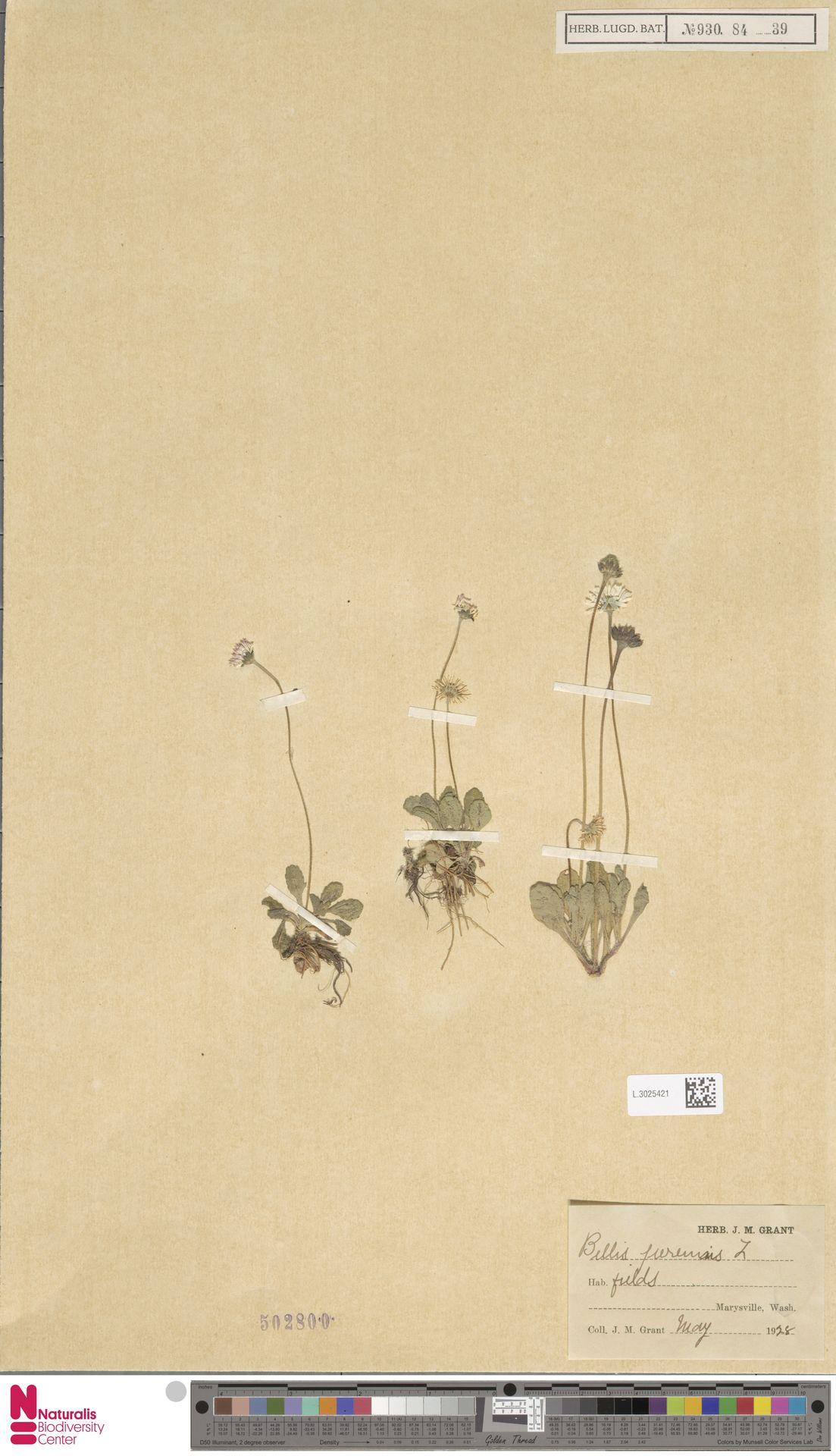 L.3025421 | Bellis perennis L.