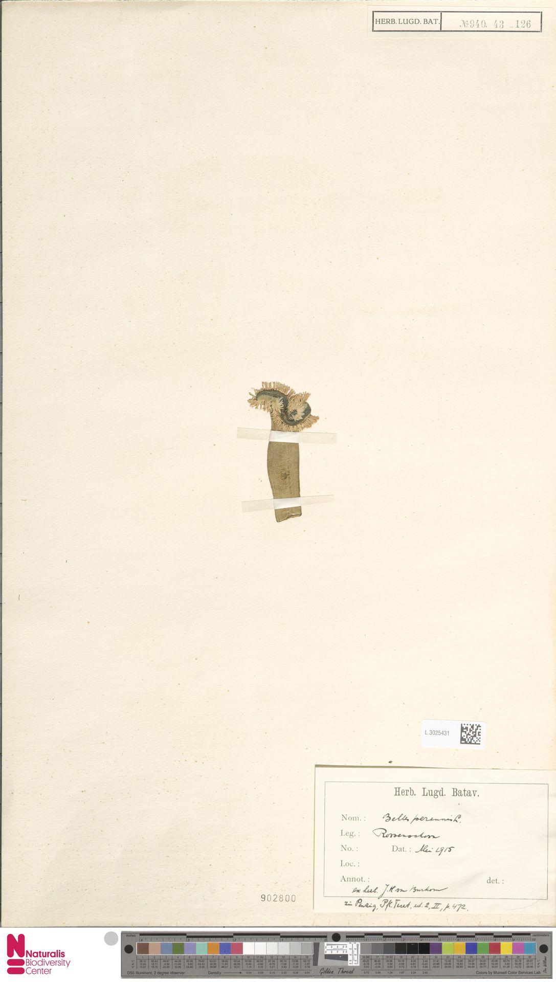 L.3025431   Bellis perennis L.