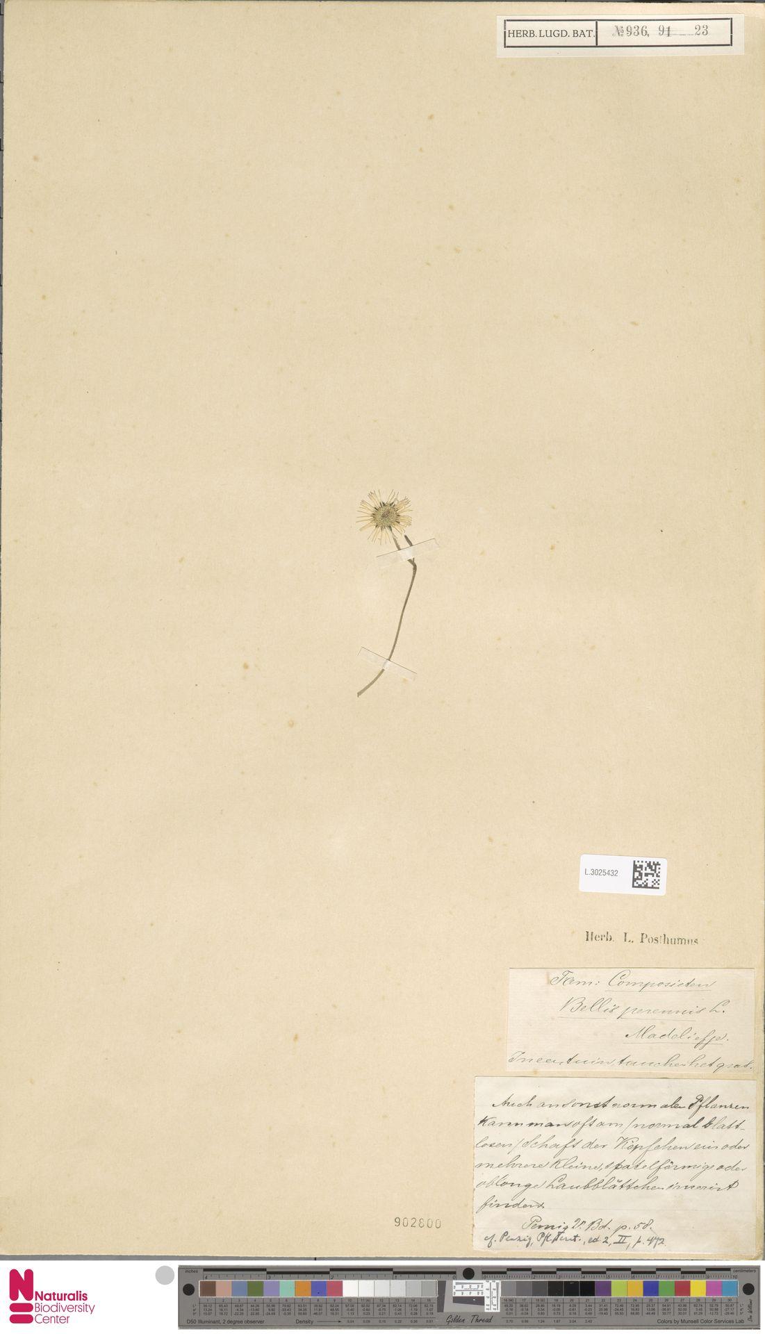 L.3025432 | Bellis perennis L.