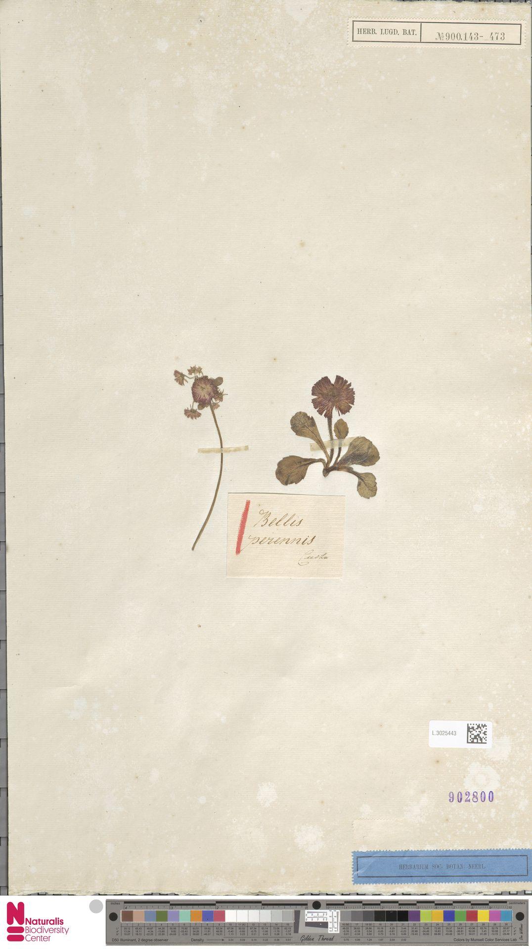 L.3025443 | Bellis perennis L.