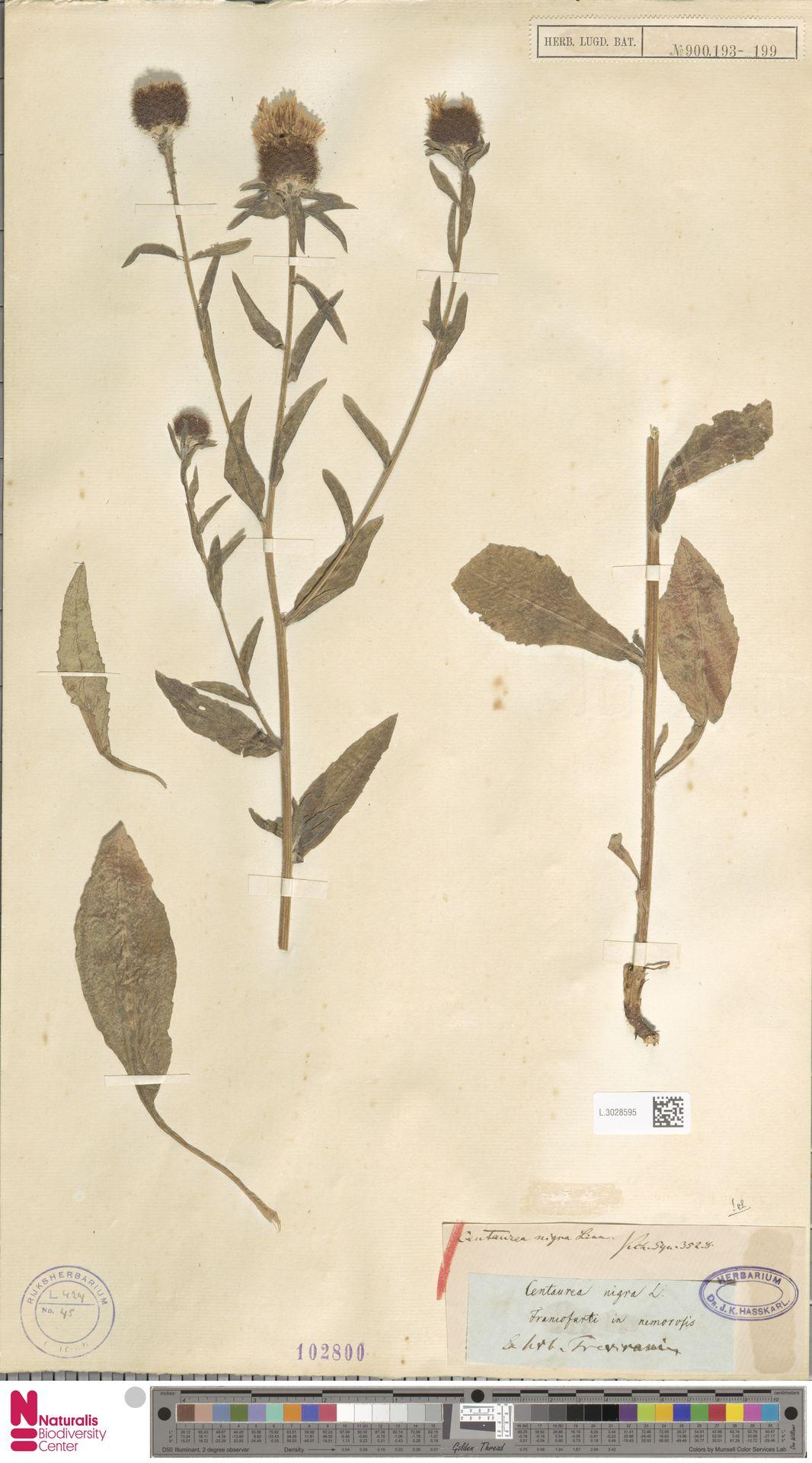 L.3028595 | Centaurea nigra L.