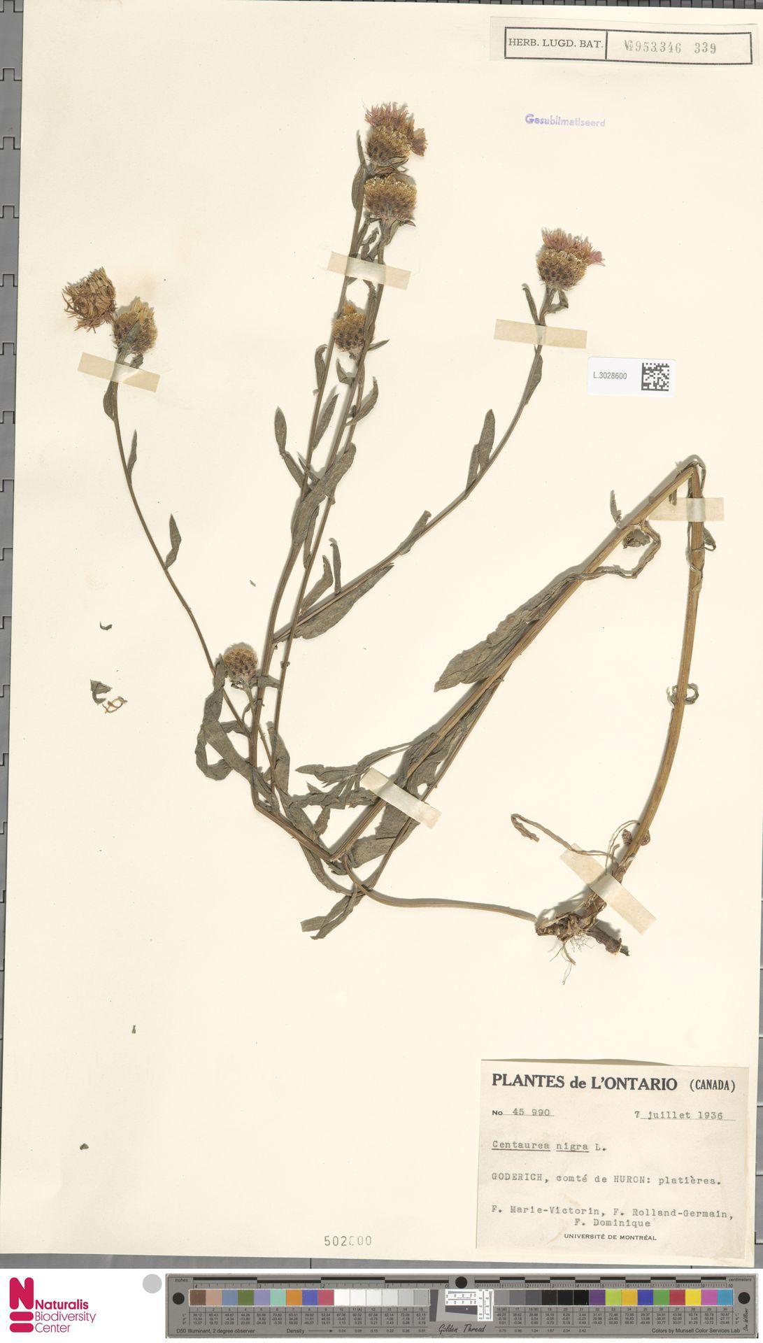 L.3028600 | Centaurea nigra L.