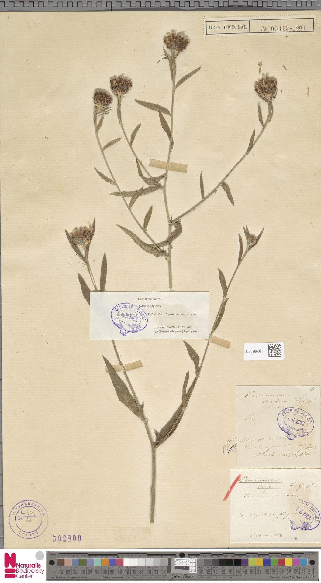 L.3028602 | Centaurea nigra L.