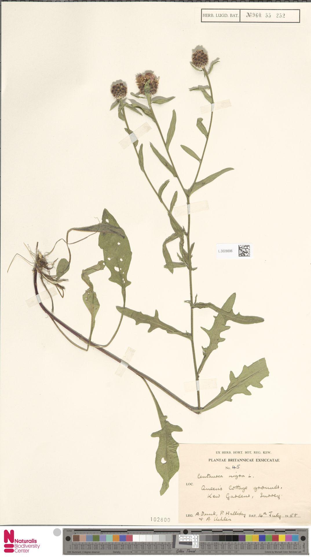 L.3028696 | Centaurea nigra L.
