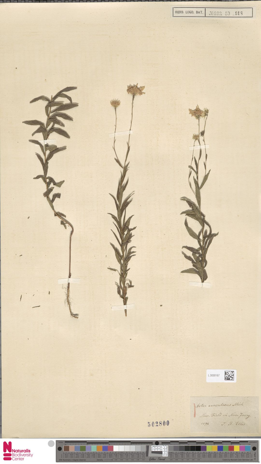 L.3030167 | Aster surculosus Michx.