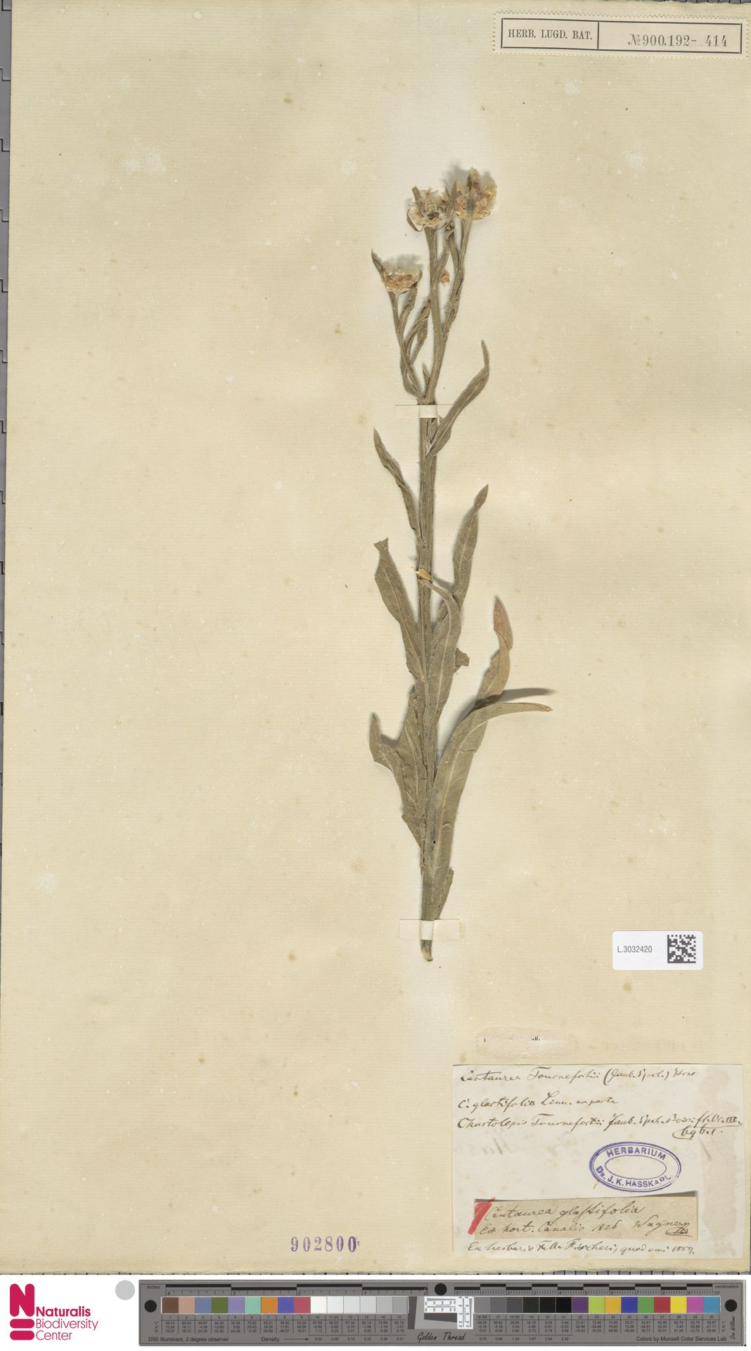 L.3032420 | Centaurea glastifolia L.