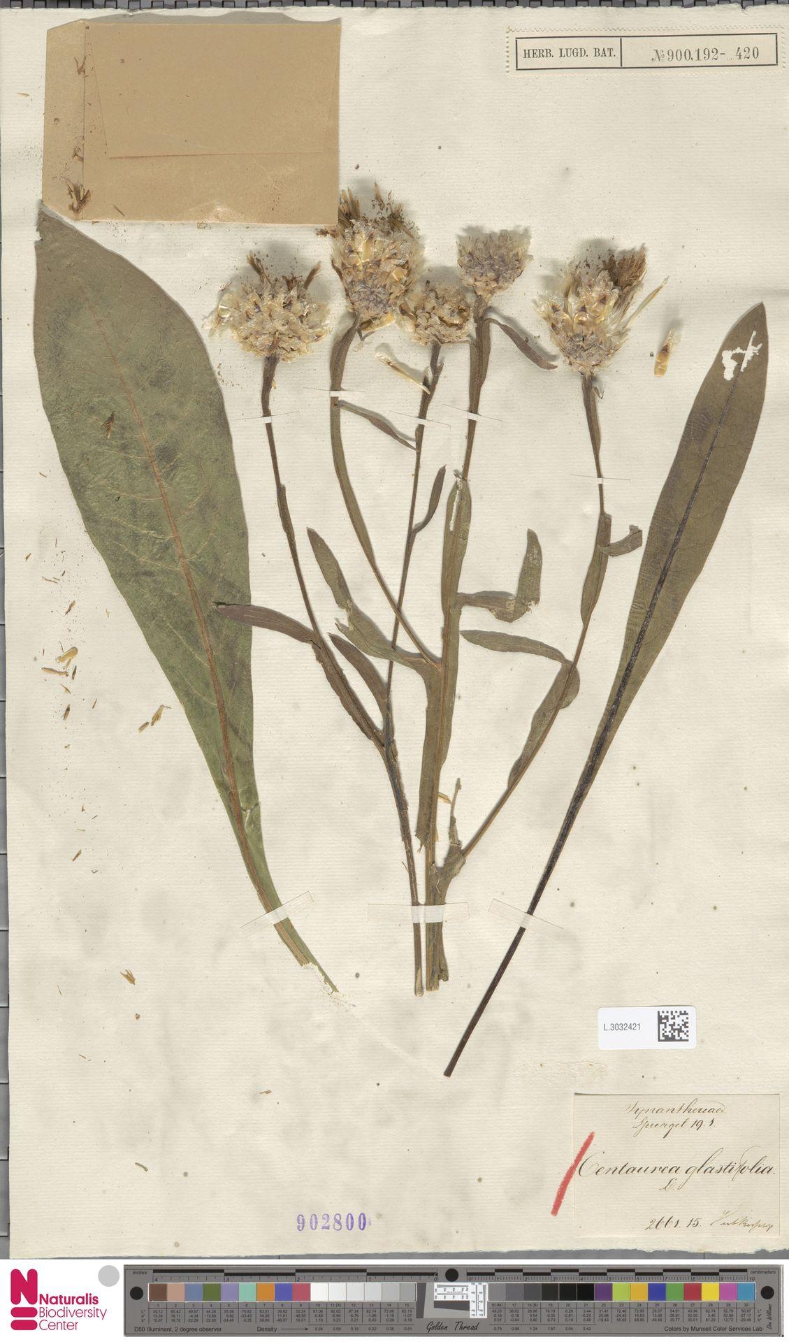 L.3032421 | Centaurea glastifolia L.