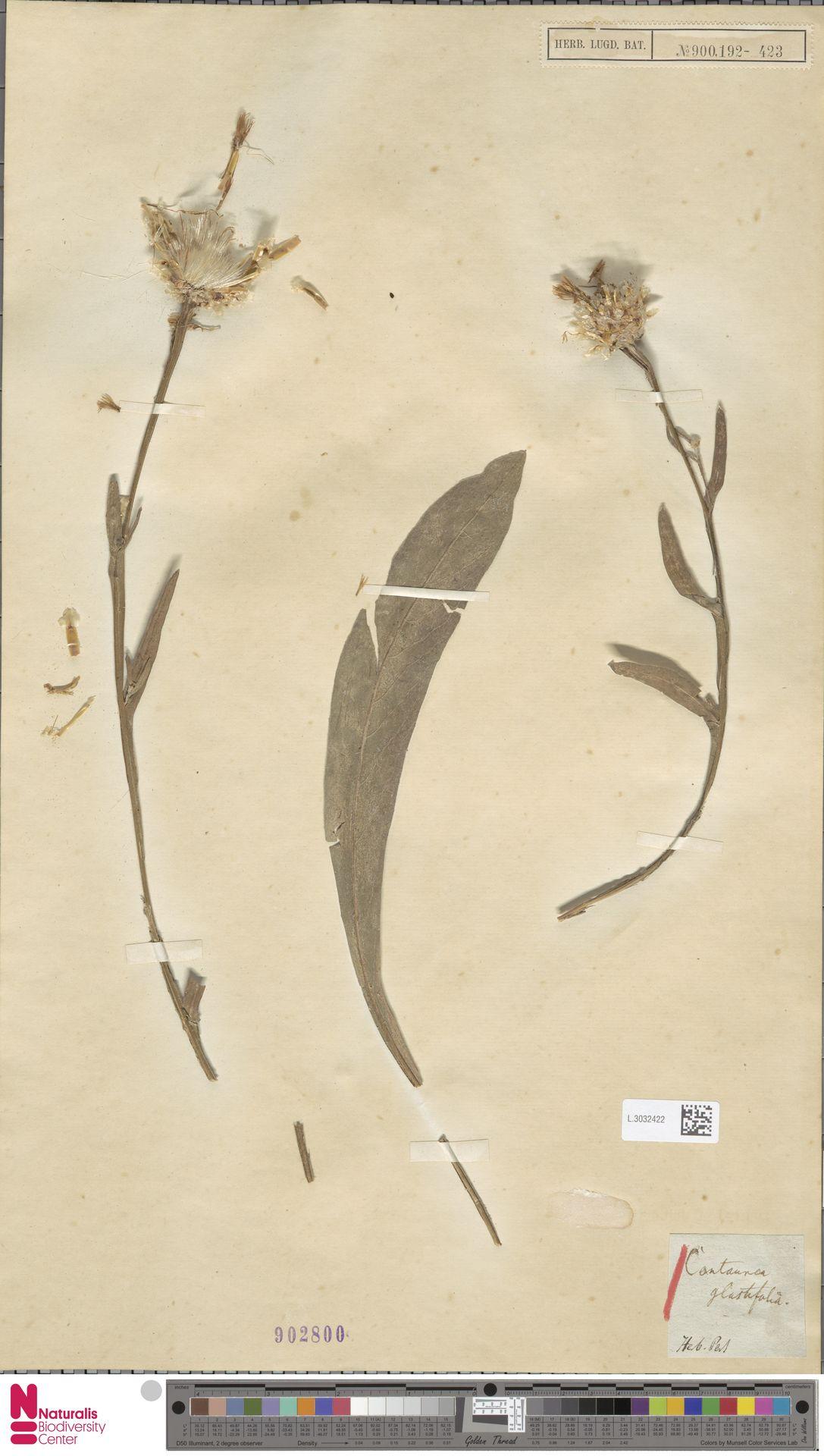 L.3032422 | Centaurea glastifolia L.