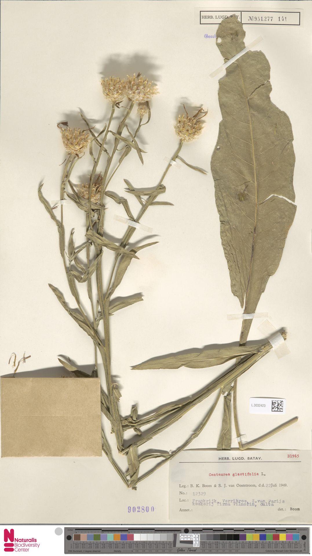 L.3032423 | Centaurea glastifolia L.