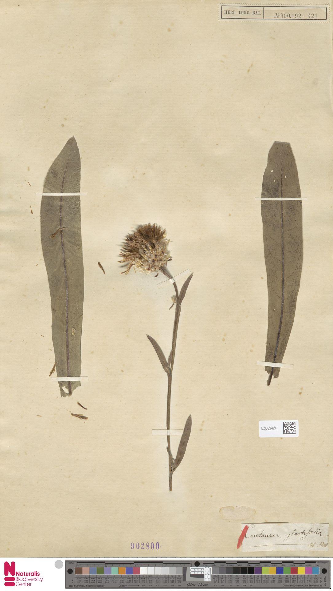 L.3032424 | Centaurea glastifolia L.