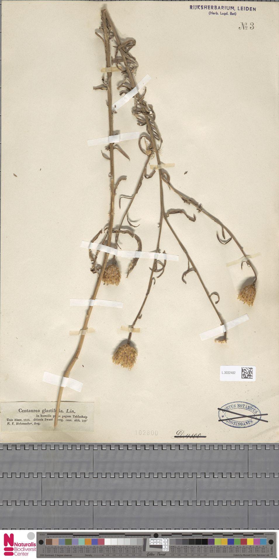 L.3032482 | Centaurea glastifolia L.
