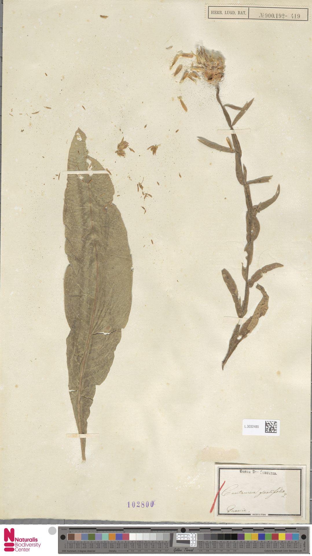 L.3032485 | Centaurea glastifolia L.