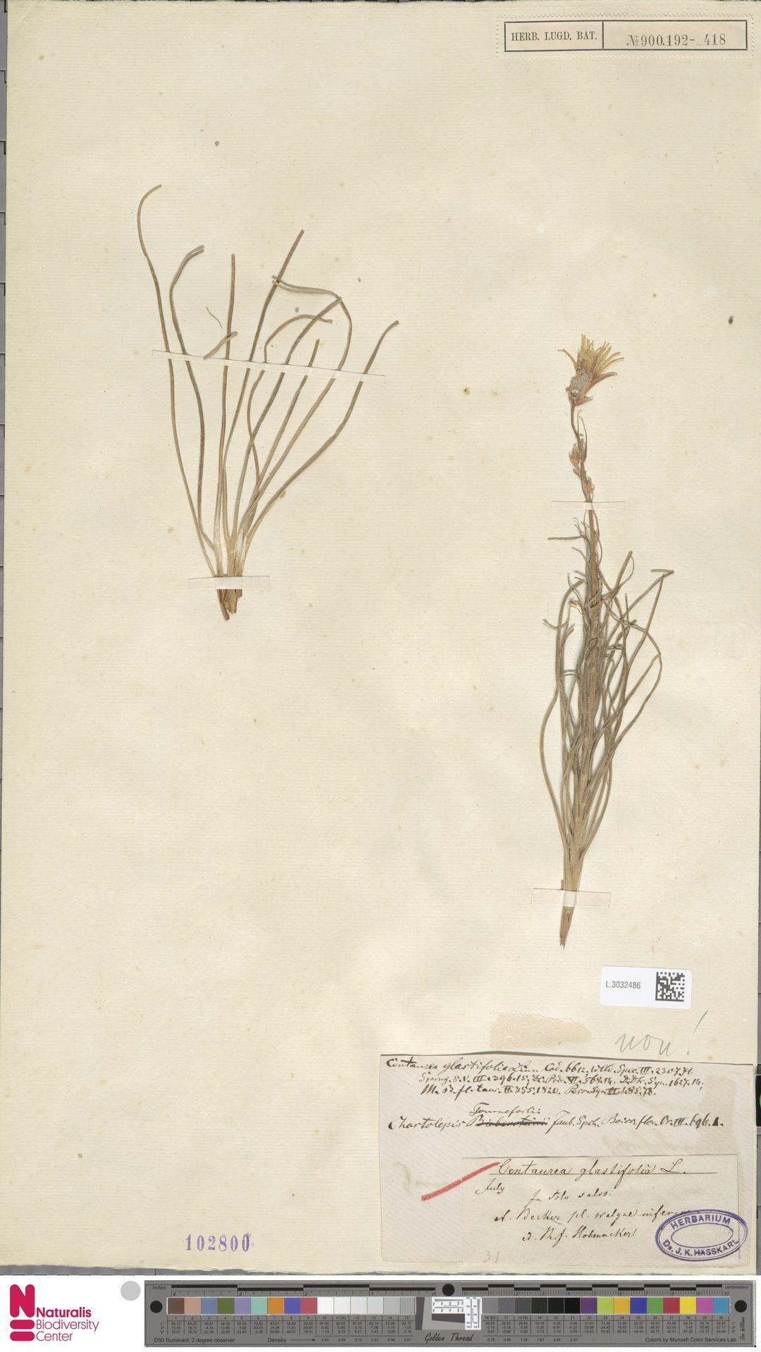 L.3032486 | Centaurea glastifolia L.