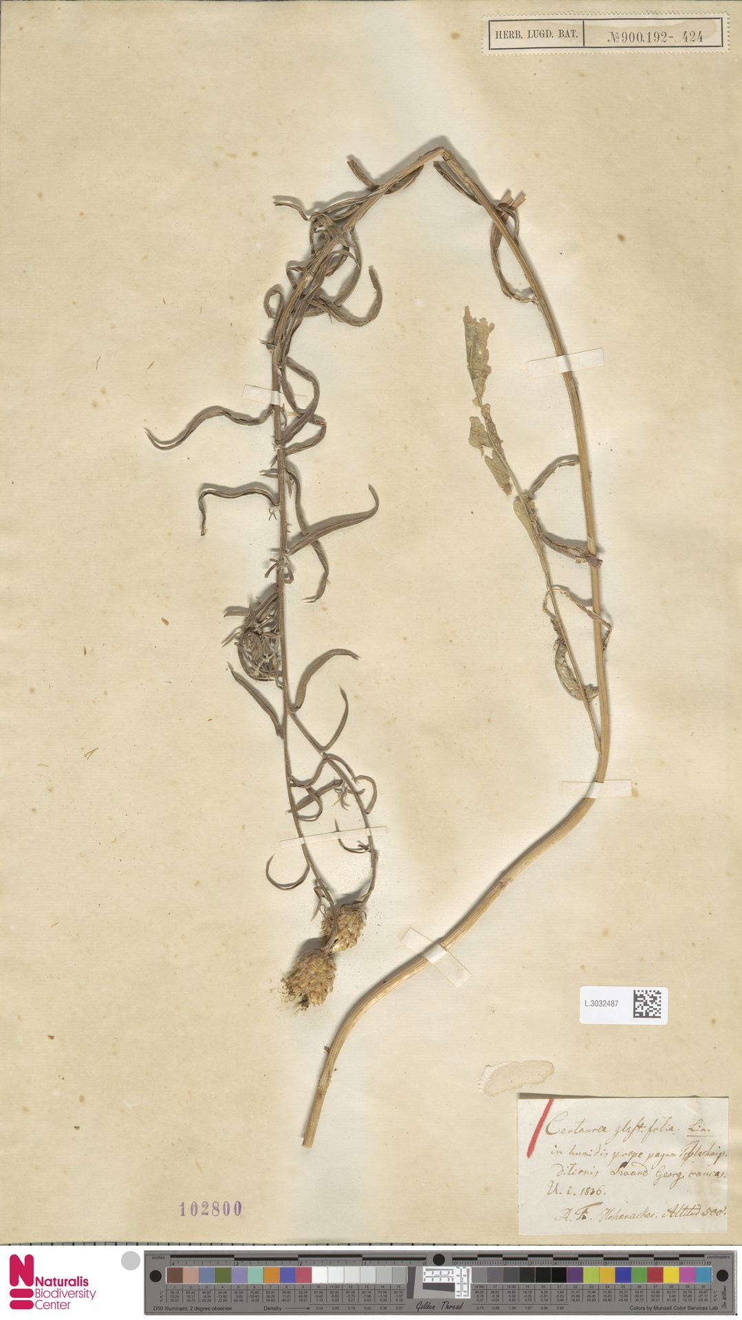 L.3032487 | Centaurea glastifolia L.