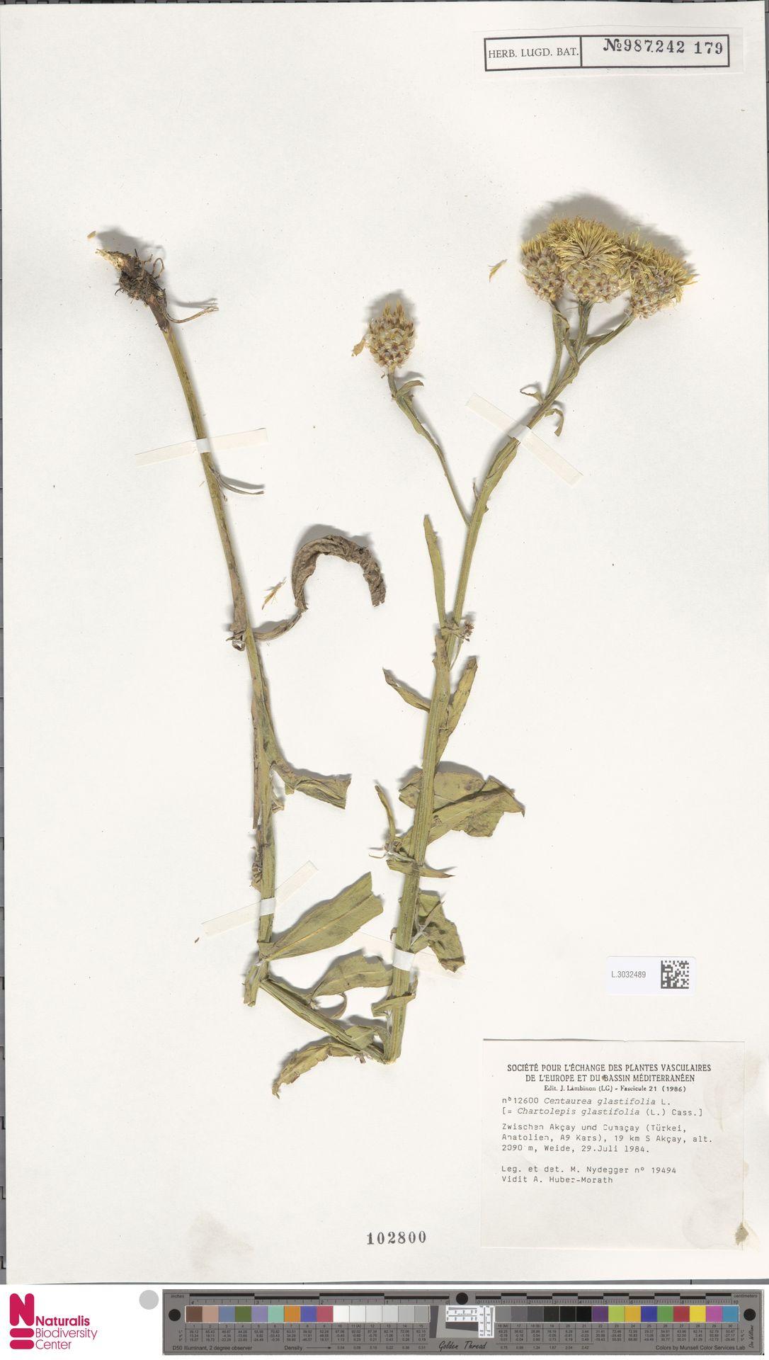 L.3032489 | Centaurea glastifolia L.