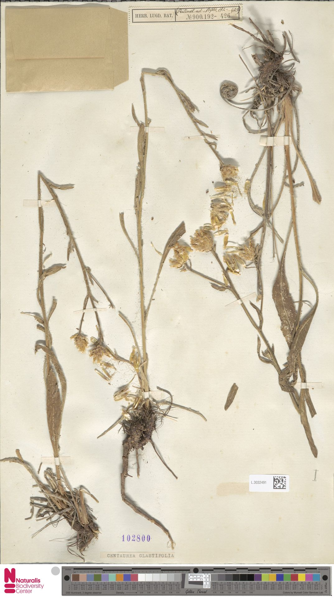 L.3032491 | Centaurea glastifolia L.