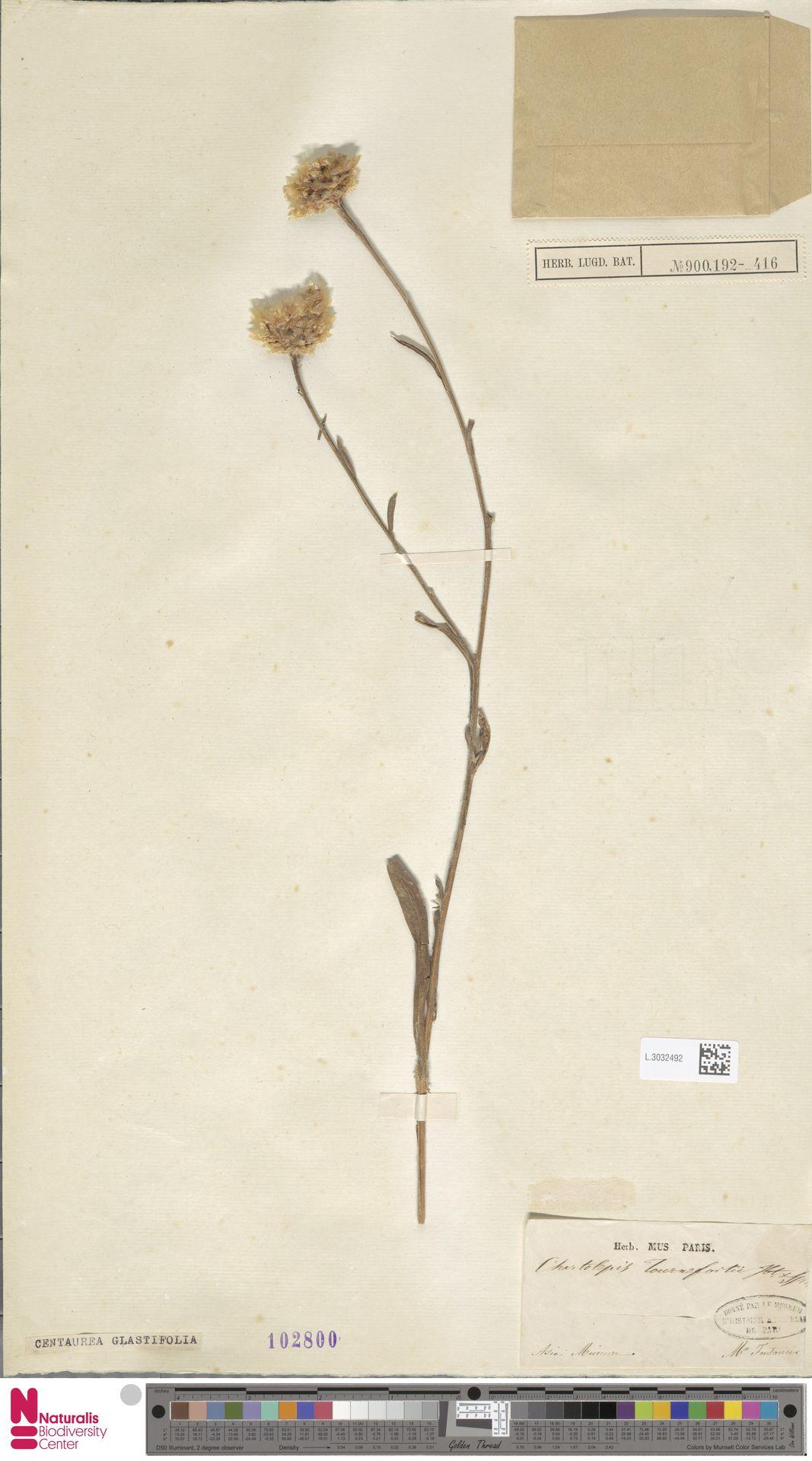 L.3032492 | Centaurea glastifolia L.