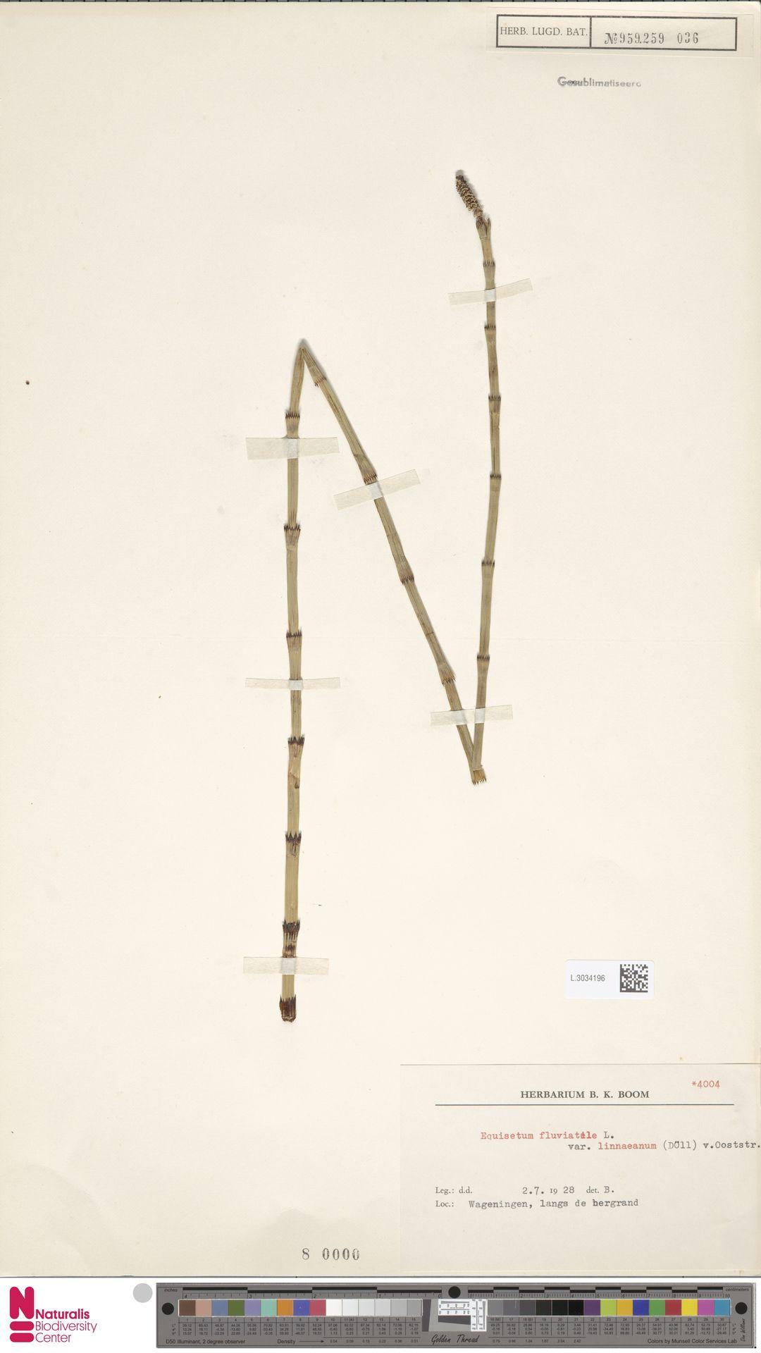 L.3034196   Equisetum fluviatile var. linnaeanum