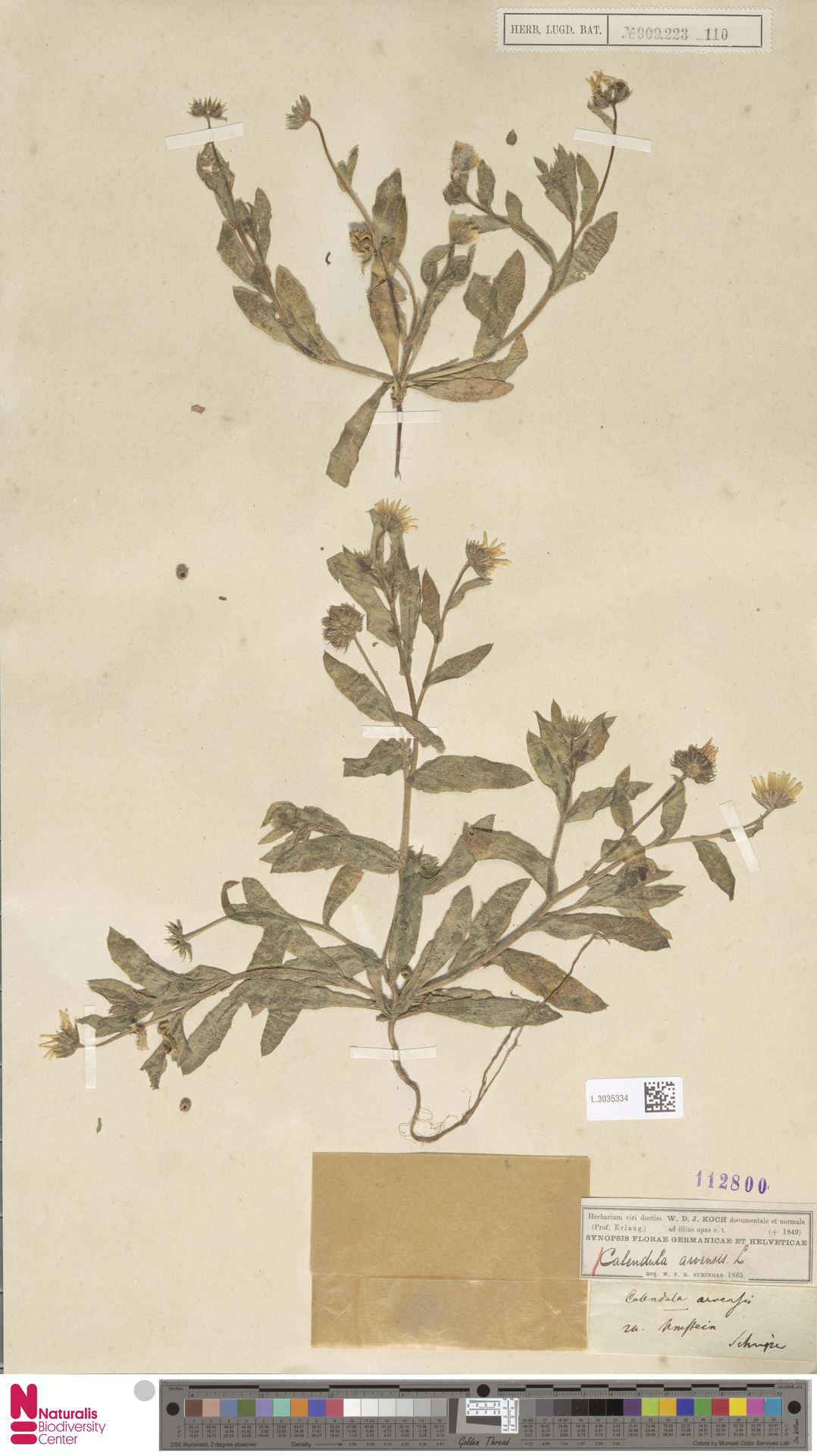 L.3035334   Calendula arvensis (Vaill.) L.