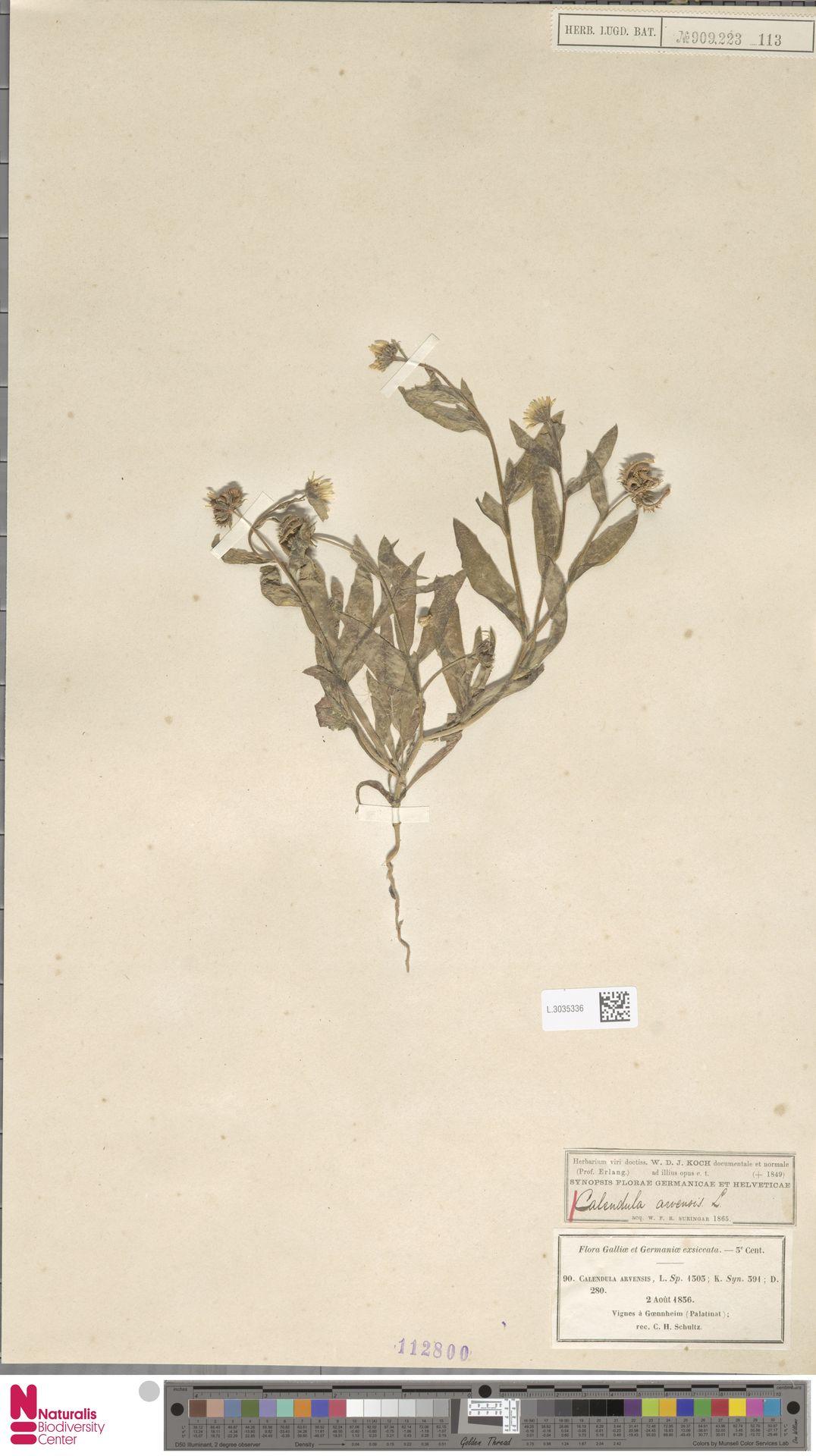 L.3035336 | Calendula arvensis (Vaill.) L.