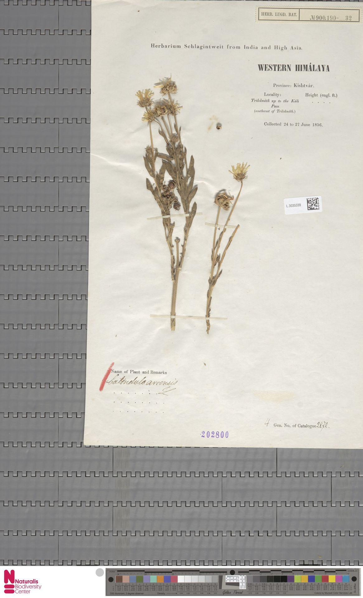 L.3035339 | Calendula arvensis (Vaill.) L.