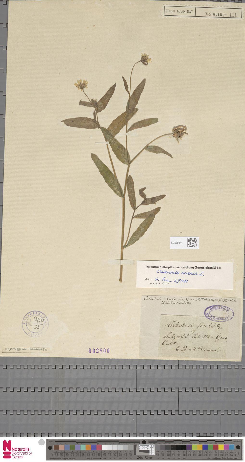L.3035344 | Calendula arvensis (Vaill.) L.