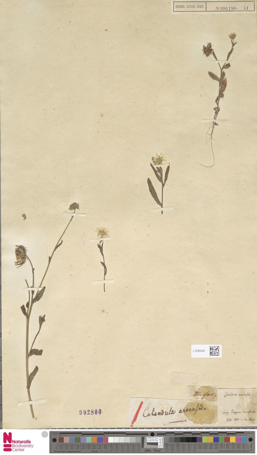 L.3035349 | Calendula arvensis (Vaill.) L.