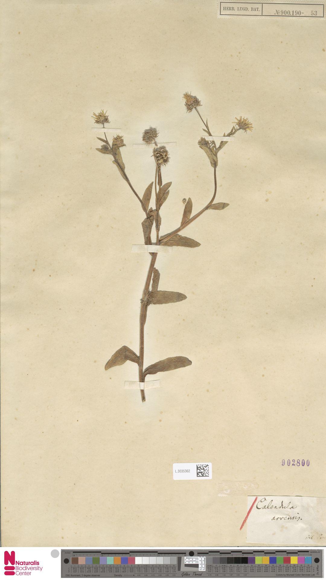 L.3035362 | Calendula arvensis (Vaill.) L.