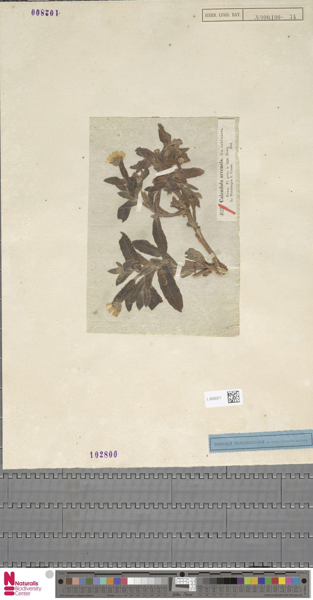 L.3035371 | Calendula arvensis (Vaill.) L.