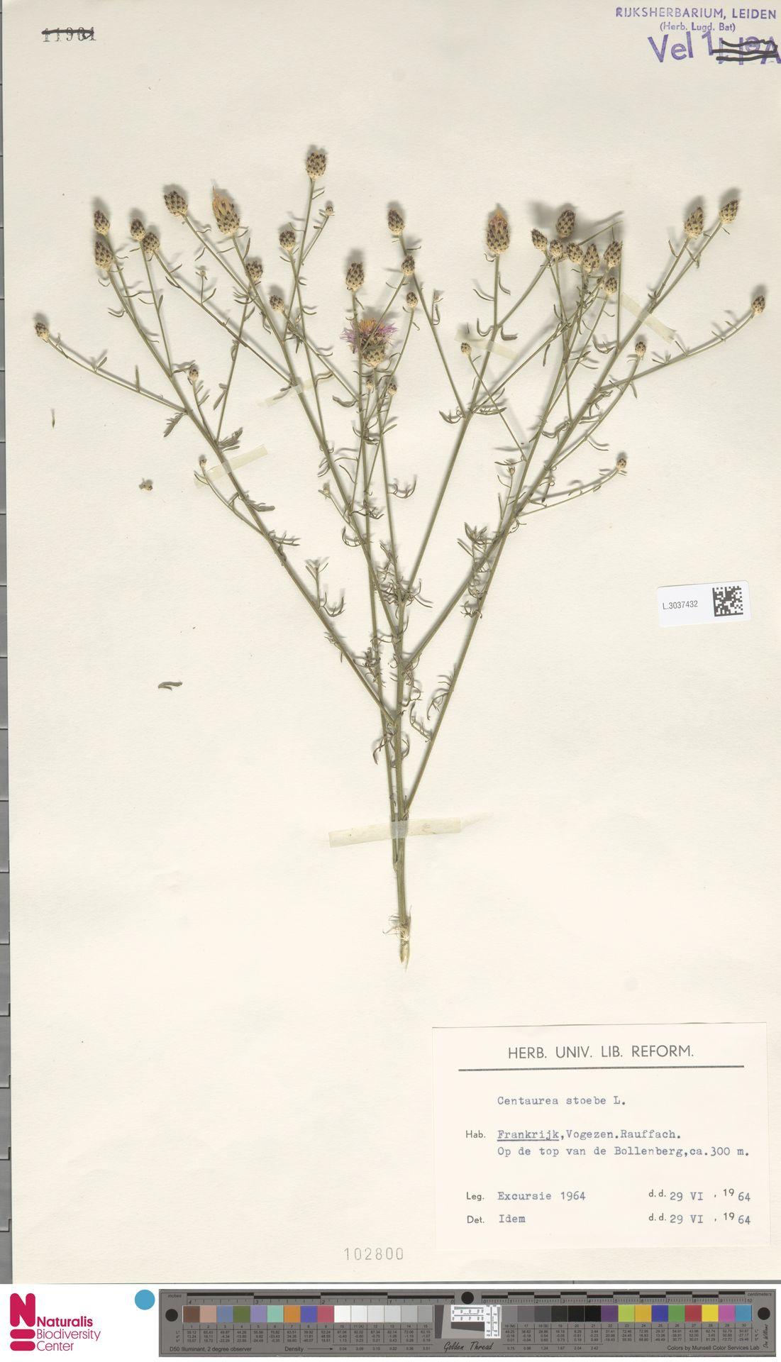 L.3037432 | Centaurea stoebe L.