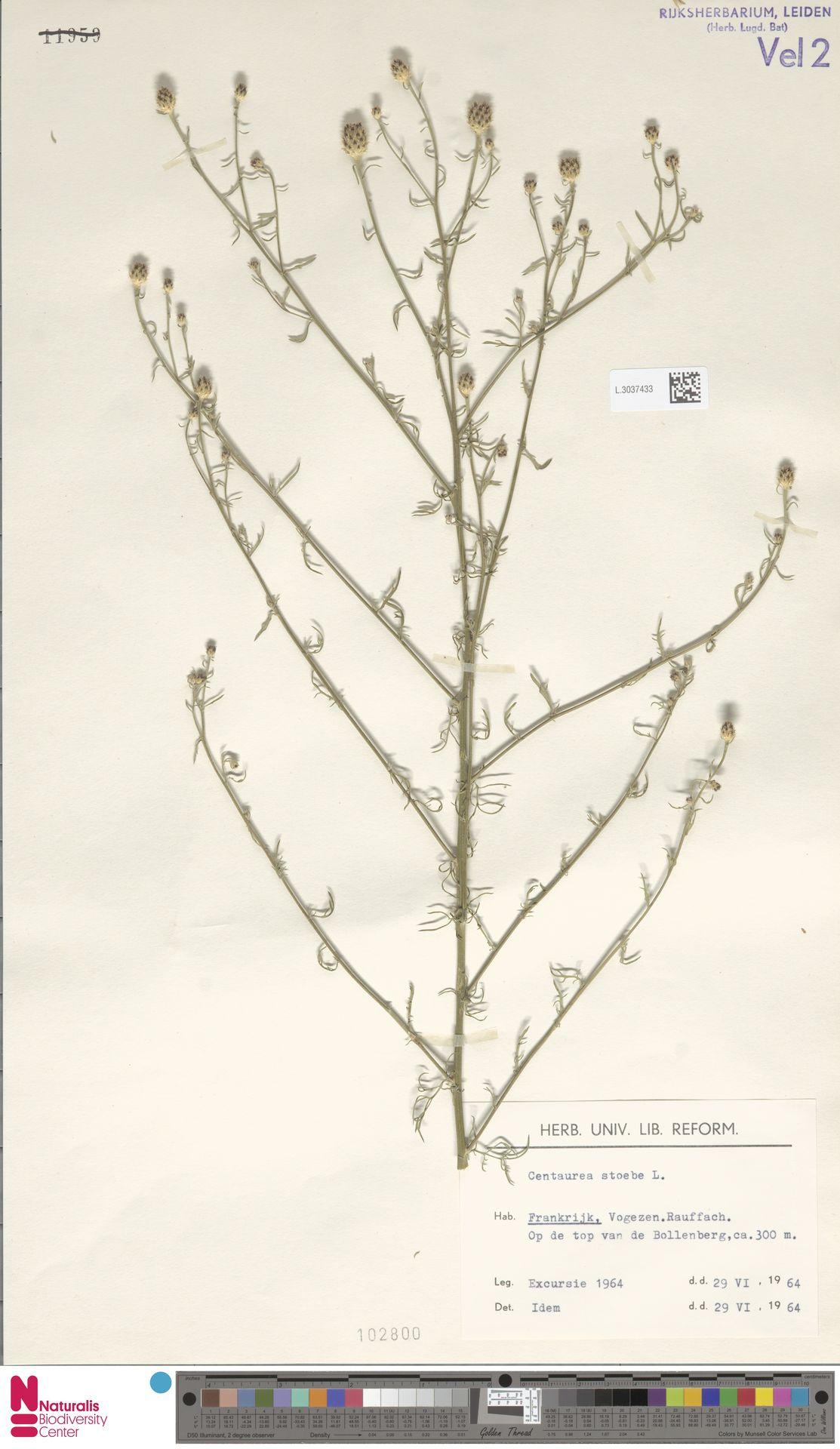 L.3037433 | Centaurea stoebe L.