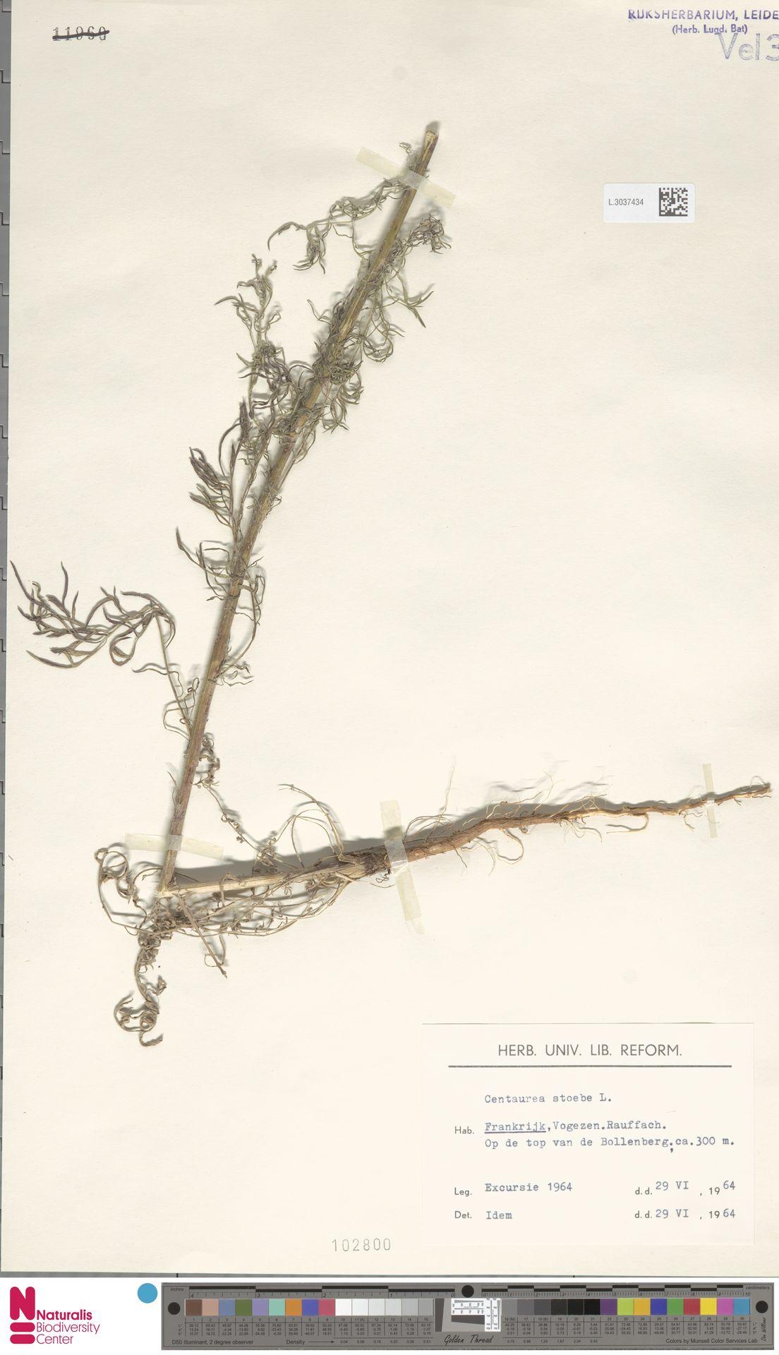 L.3037434 | Centaurea stoebe L.