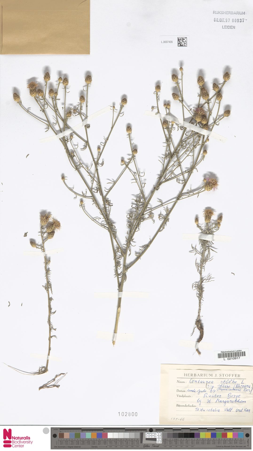 L.3037435 | Centaurea stoebe L.