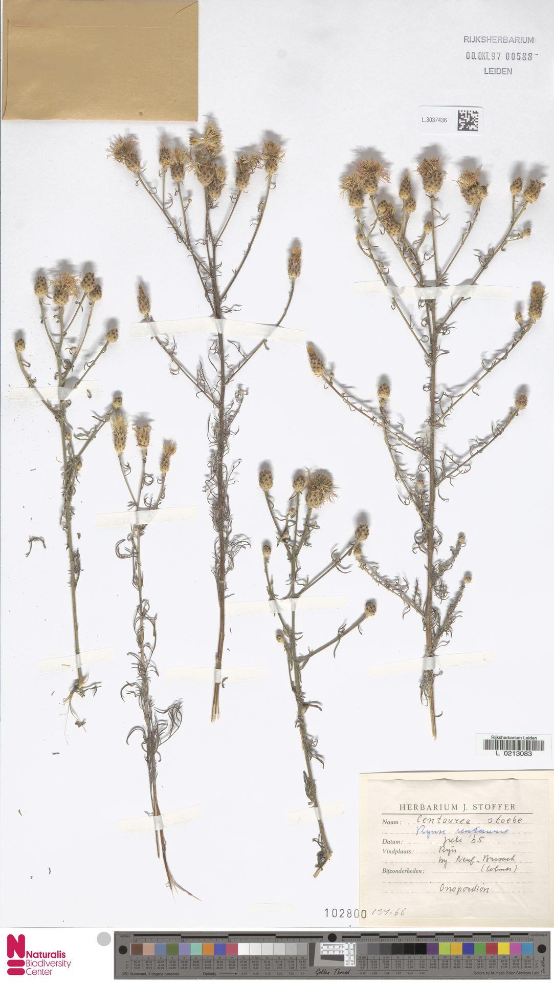 L.3037436 | Centaurea stoebe L.