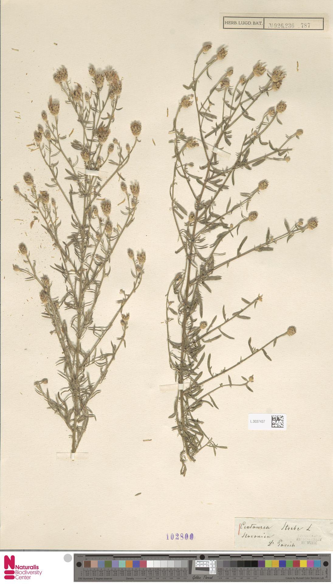 L.3037437 | Centaurea stoebe L.