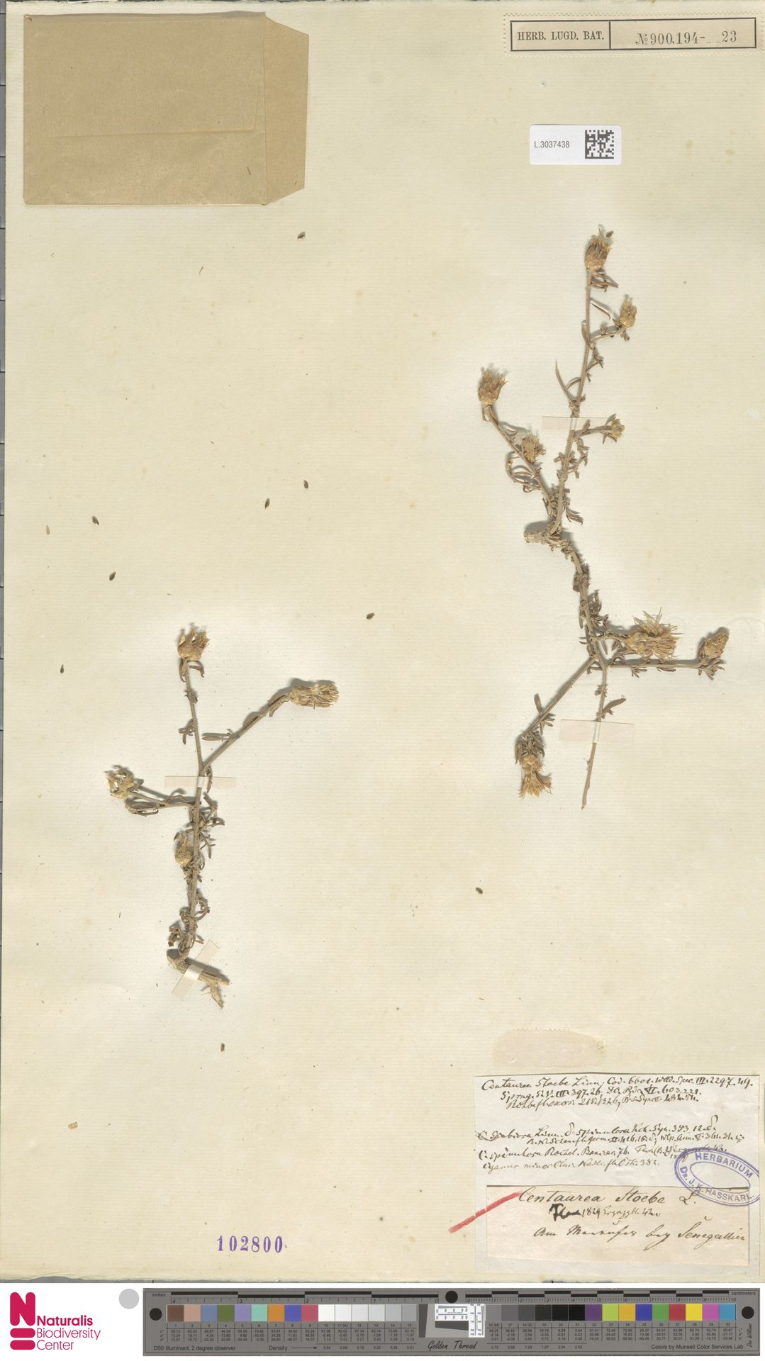L.3037438 | Centaurea stoebe L.