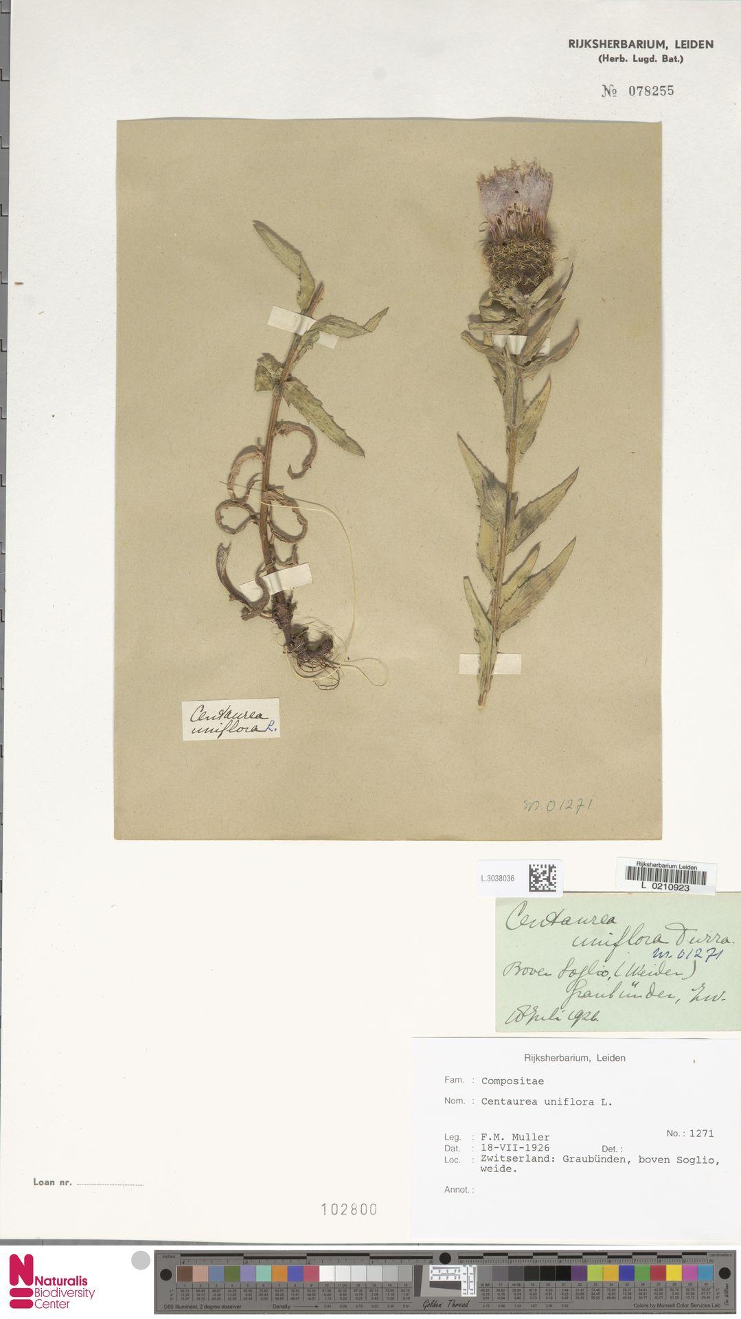 L.3038036 | Centaurea uniflora L.