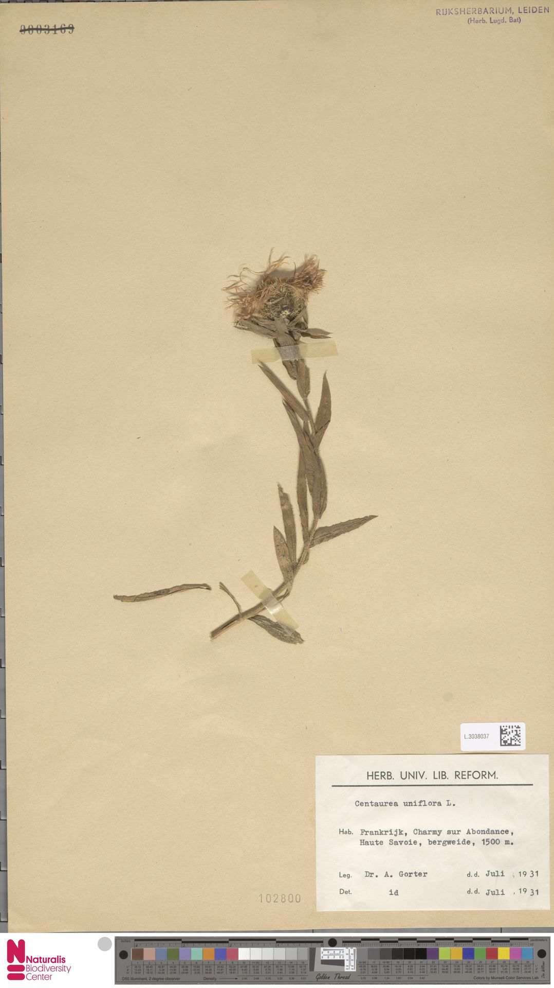L.3038037 | Centaurea uniflora L.