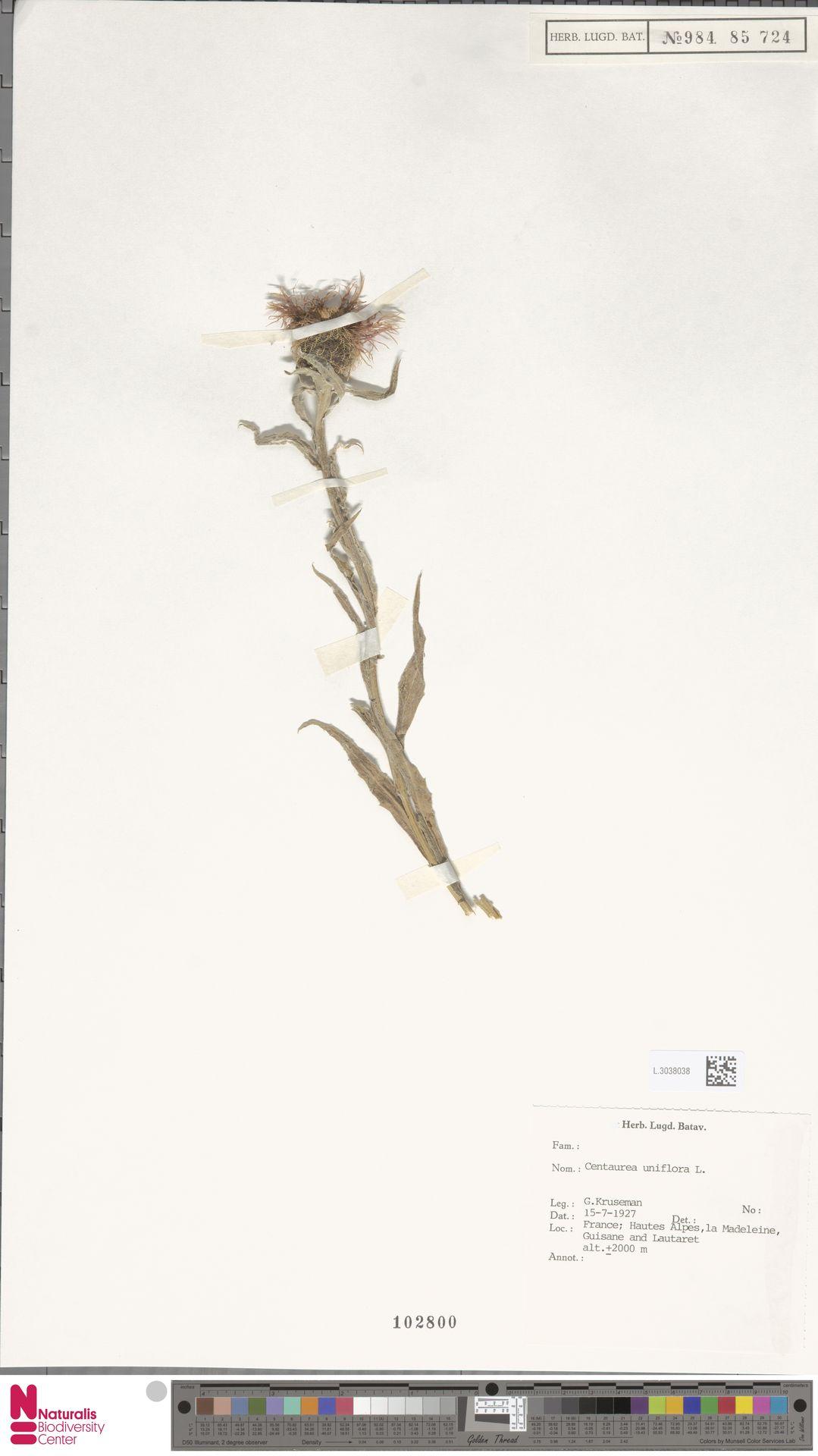 L.3038038 | Centaurea uniflora L.