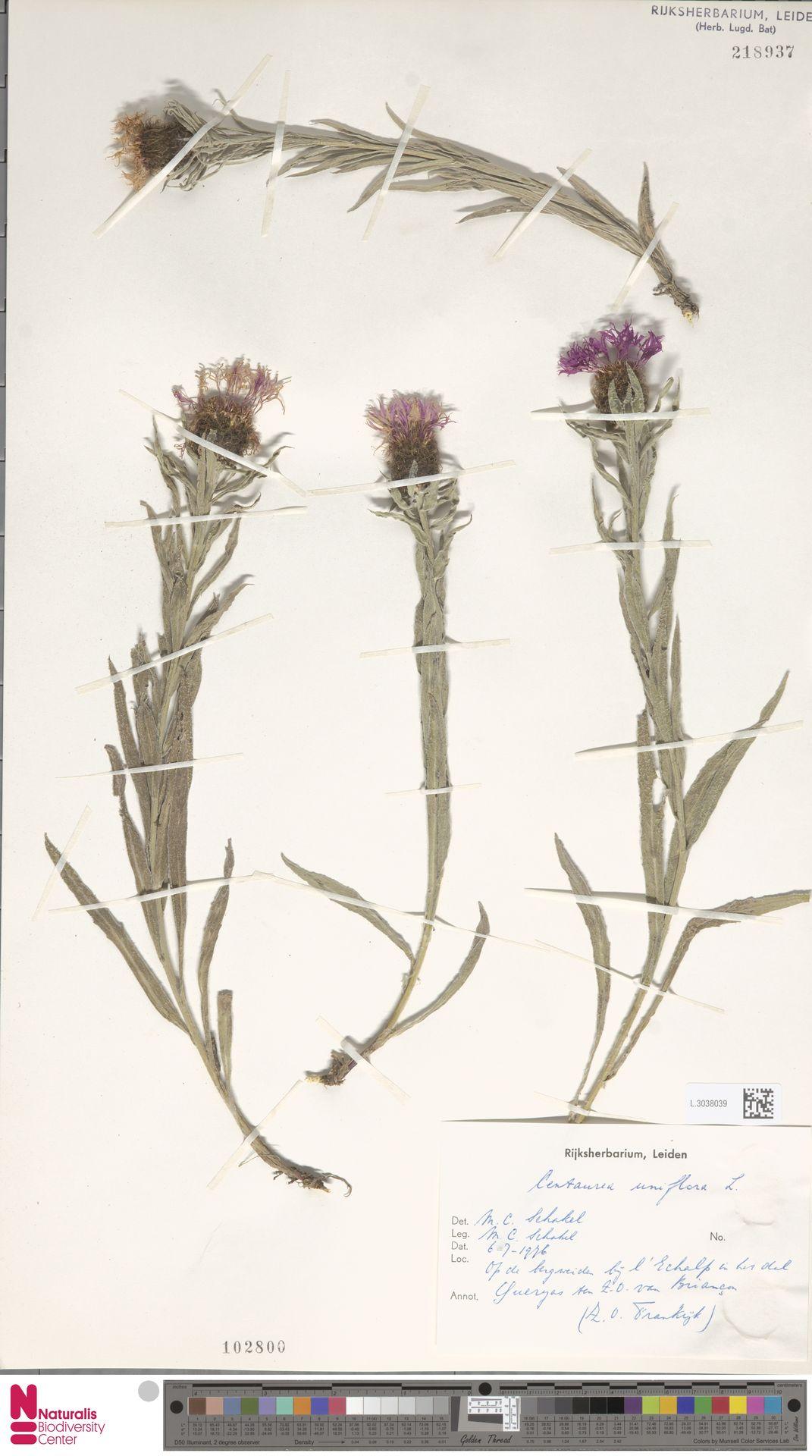L.3038039 | Centaurea uniflora L.