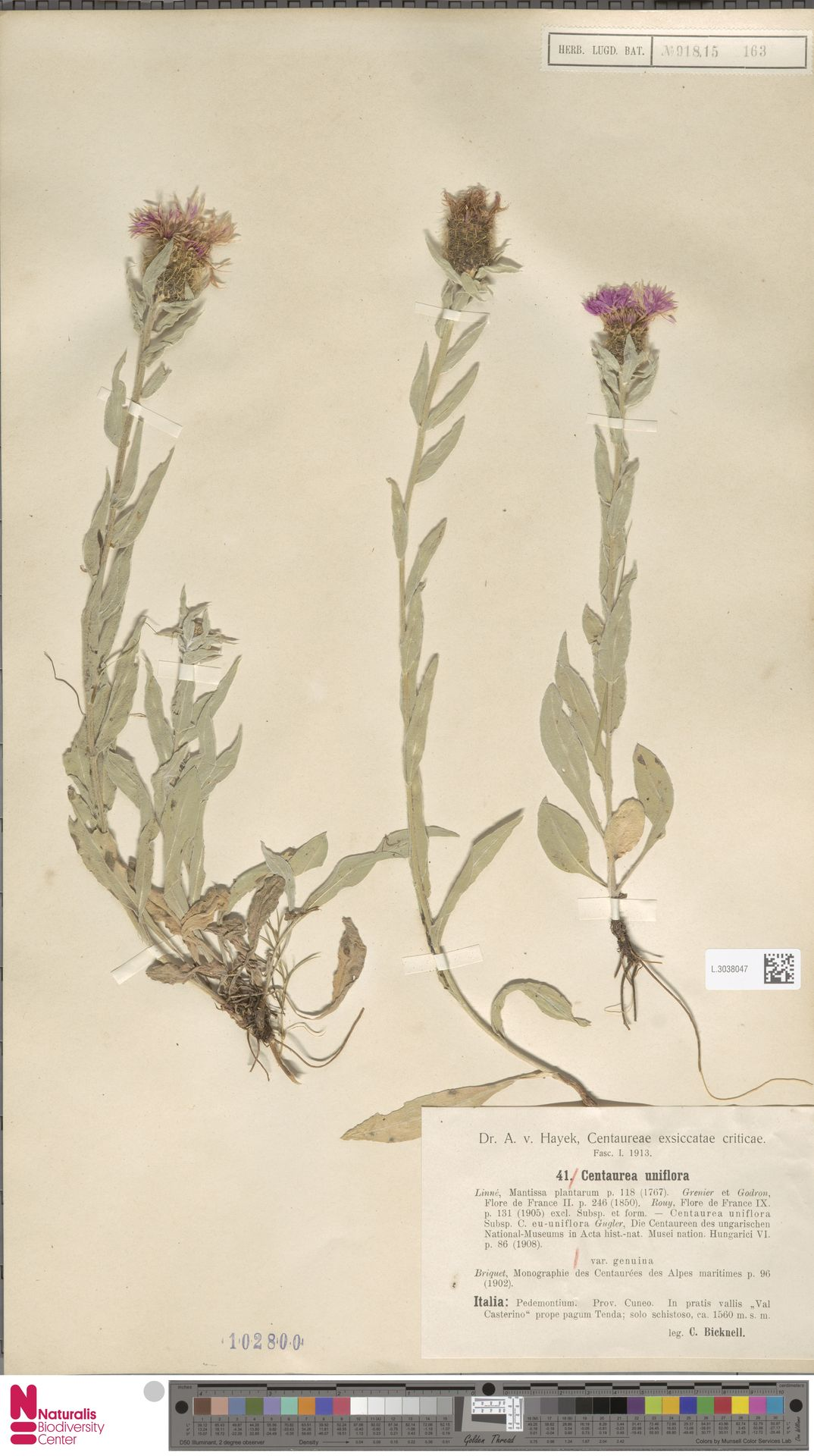 L.3038047 | Centaurea uniflora L.