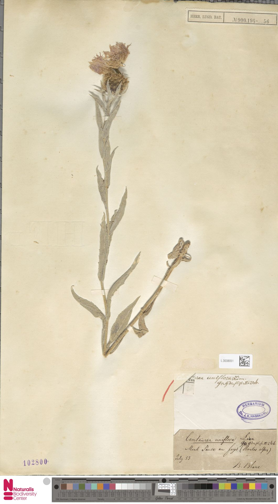 L.3038051 | Centaurea uniflora L.